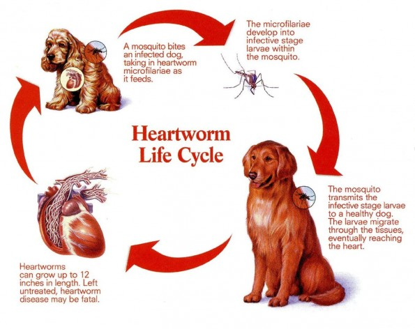 the cycle of heartworm in dogs